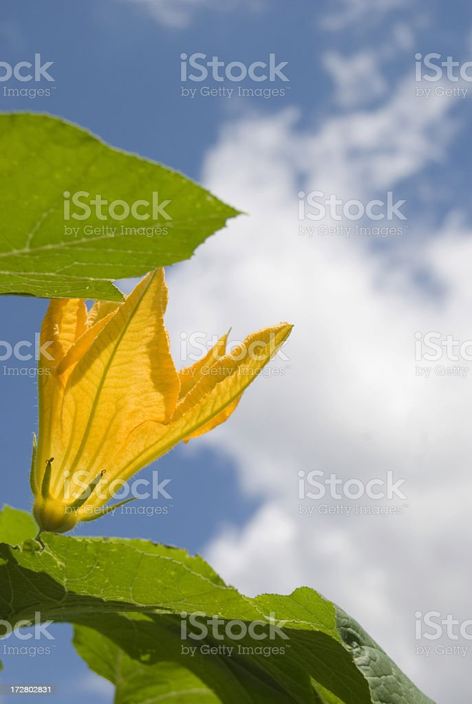 Pumpkin Plant royalty-free stock photo