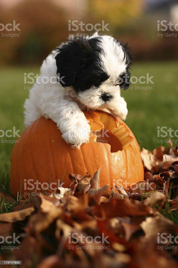 Pumpkin Puppy stock photo