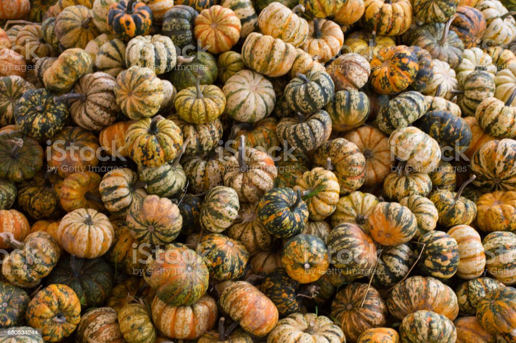 Pumpkin Squash stock photo