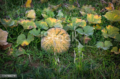 Pumpkin, the plant of the ground family that produces the pumpkin, having tendrils and large lobed leaves and native to warm regions of North America