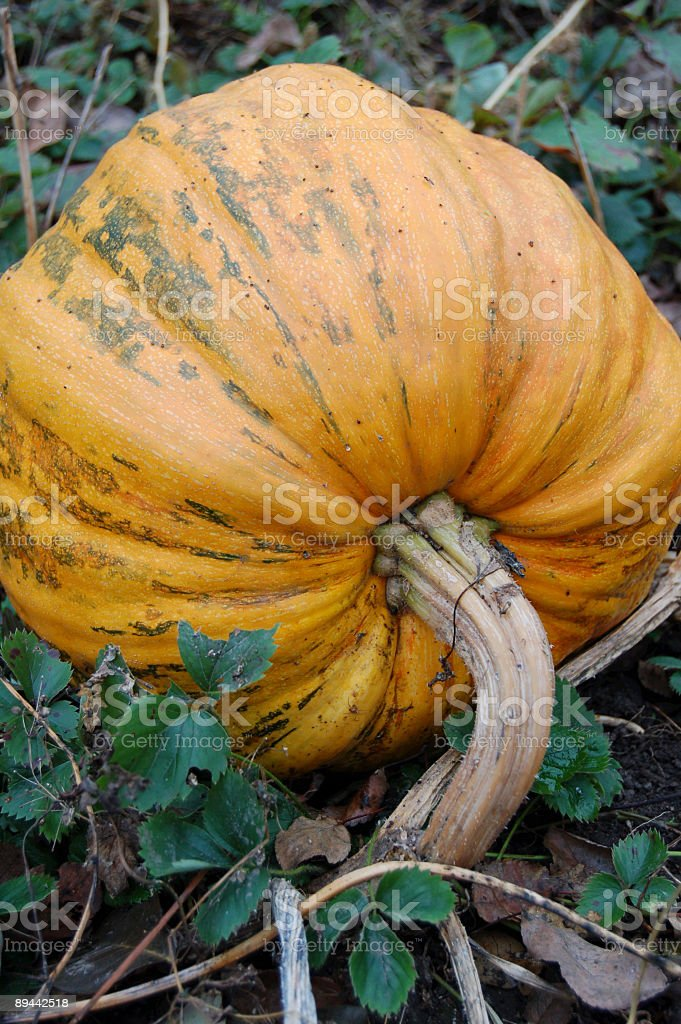 pumpkin1 royalty-free stock photo