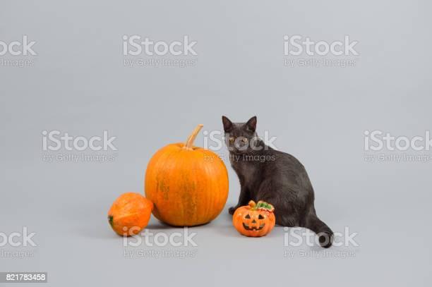 Pumpkins and chartreux cat picture id821783458?b=1&k=6&m=821783458&s=612x612&h=a8qawn1vsre2sjwi7xi6w4fak2enduuxug5gvpxsdri=