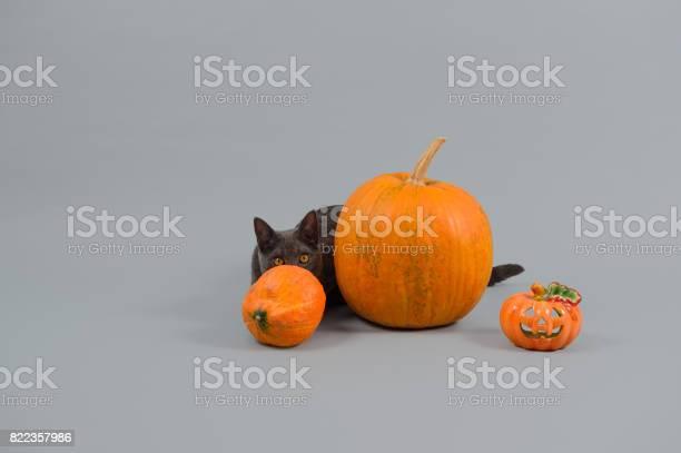Pumpkins and chartreux cat picture id822357986?b=1&k=6&m=822357986&s=612x612&h=5otqwjehfpmp4enxslzpxl18fkm  n4p9hixwthv0d4=