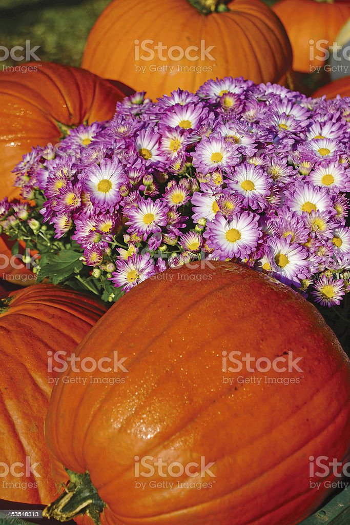 Pumpkins and Chrysanthemum royalty-free stock photo