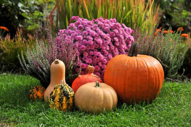 pompoenen en bloemen. - chrysant stockfoto's en -beelden