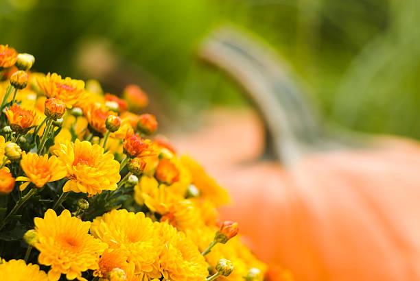 pumpkins and mums - iv - chrysant stockfoto's en -beelden