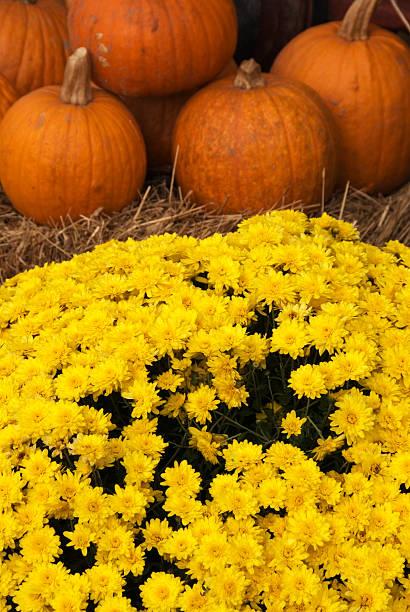Pumpkins and Mums stock photo