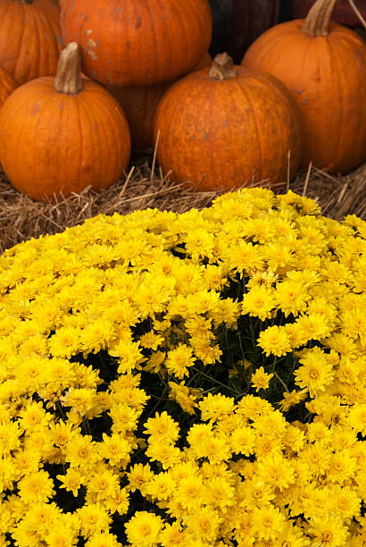 Pumpkins and Mums stock photo