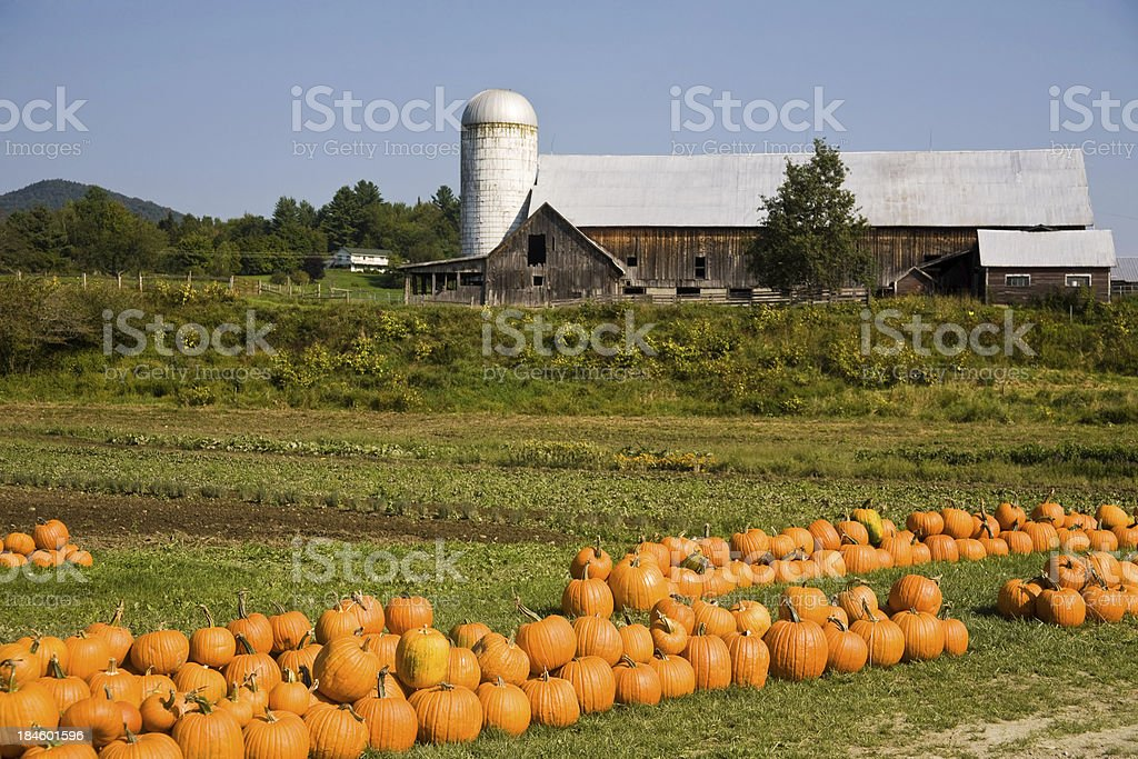 pumpkins at the farm stock photo