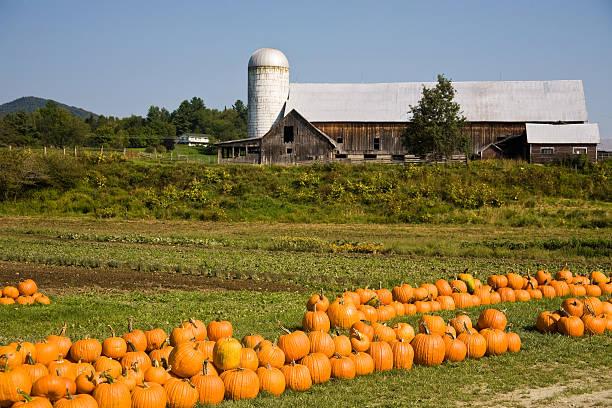 pumpkins at the farm stock photo