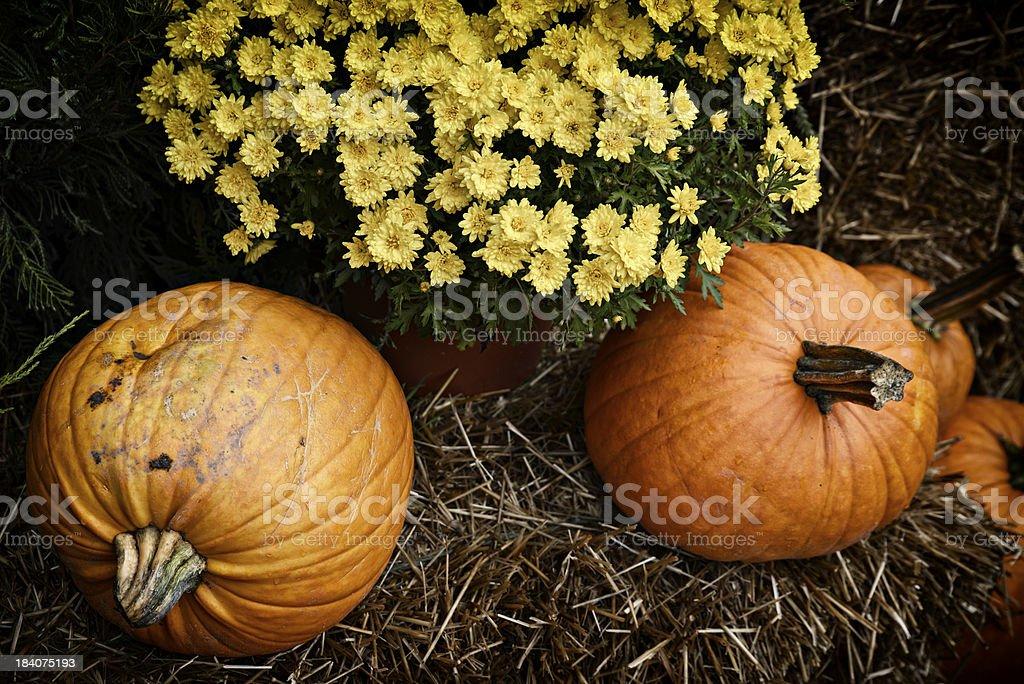 Pumpkins & Chrysanthemum royalty-free stock photo