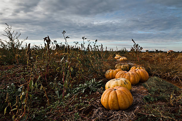 Pumpkins Campo - foto de stock