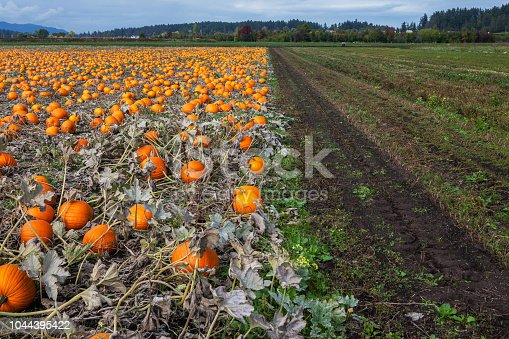 620705960istockphoto Pumpkins in a field 1044395422