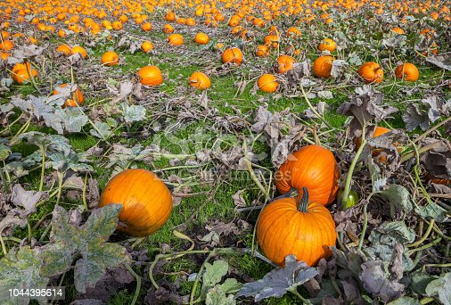 620705960istockphoto Pumpkins in a field 1044395614