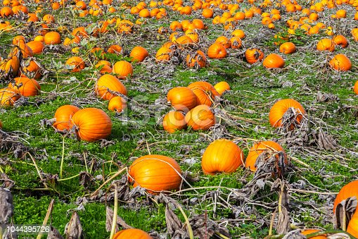 620705960istockphoto Pumpkins in a field 1044395726