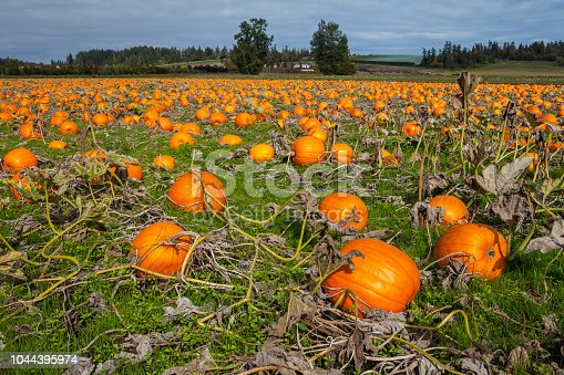 620705960istockphoto Pumpkins in a field 1044395974