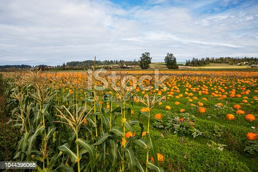 Orange pumpkins in a famer's field ready for harvest.
