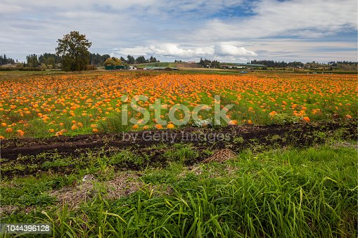 620705960istockphoto Pumpkins in a field 1044396128