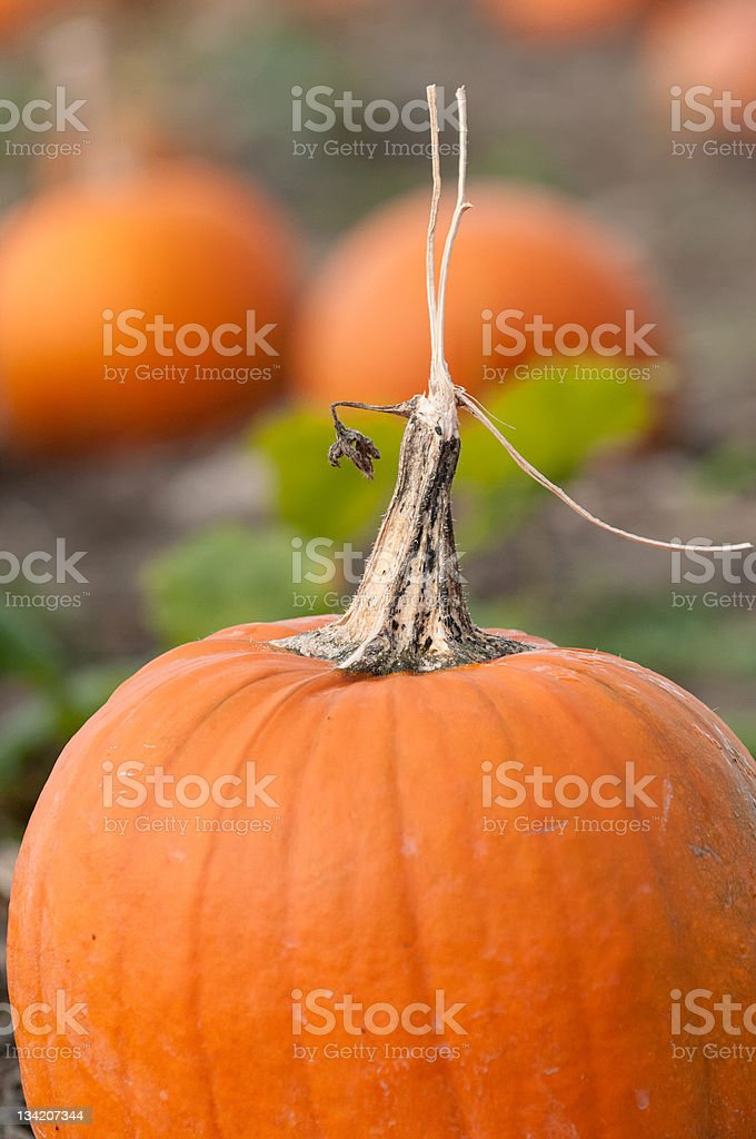 Pumpkins in a Field royalty-free stock photo