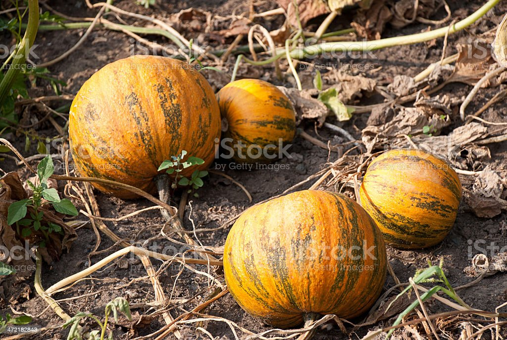 pumpkins in a garden royalty-free stock photo