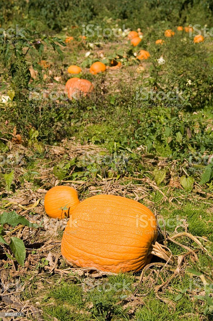 Pumpkins in a patch - vertical stock photo