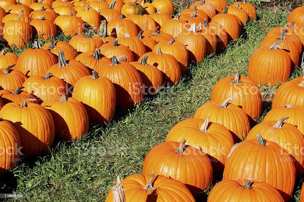 Pumpkins in a Row: Bright sunlight, strip of grass stock photo