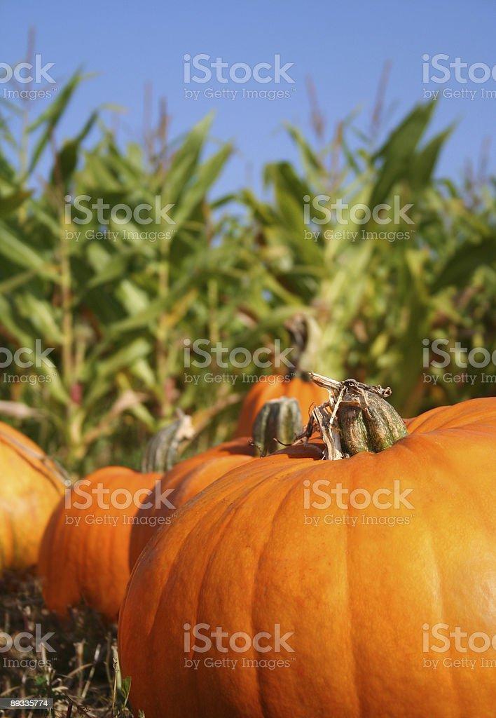 Pumpkins in Cornfield royalty-free stock photo