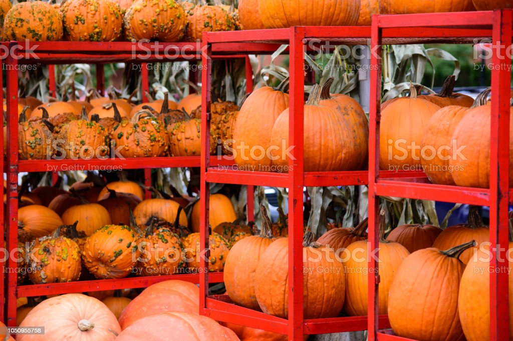 Pumpkins in rows on shelves traditional Autumn harvest Thanksgiving and Halloween photography stock photo