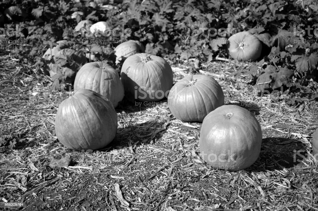 Pumpkins in the Field stock photo