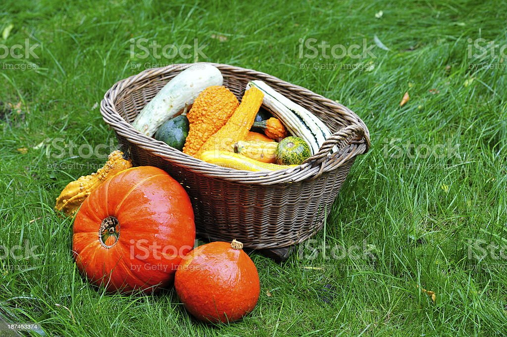 Pumpkins in the grass for Thanksgiving. royalty-free stock photo