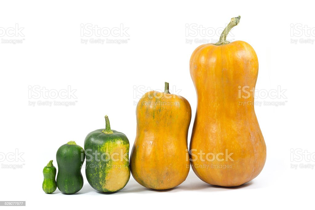 Pumpkins Lined up from Smallest to Largest Isolated on White stock photo