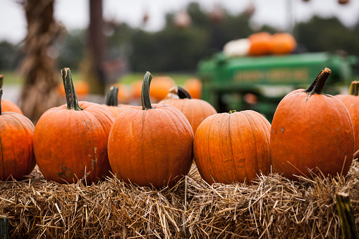 Pumpkins on a farm in the fall during harvest time. Autumn colors.