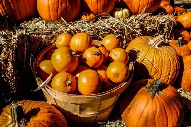 pumpkins on display at patch - pumpkin pie стоковые фото и изображения