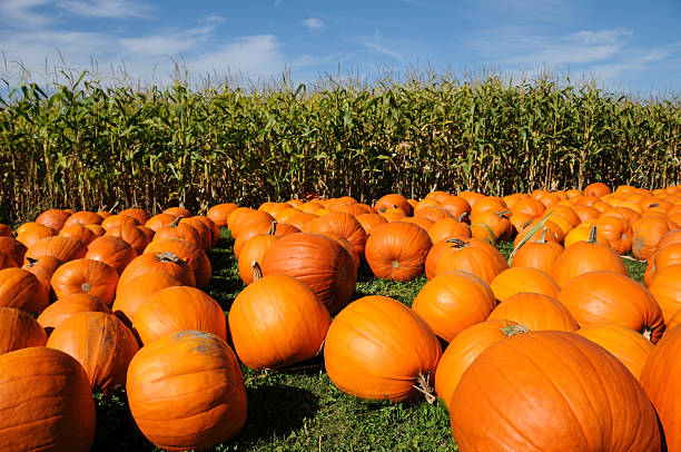 Pumpkins On Hay And Cornfield stock photo