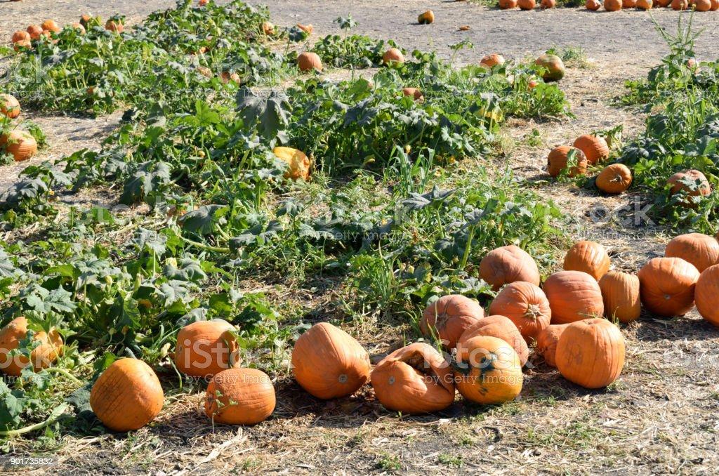 Pumpkins on the Dirt stock photo