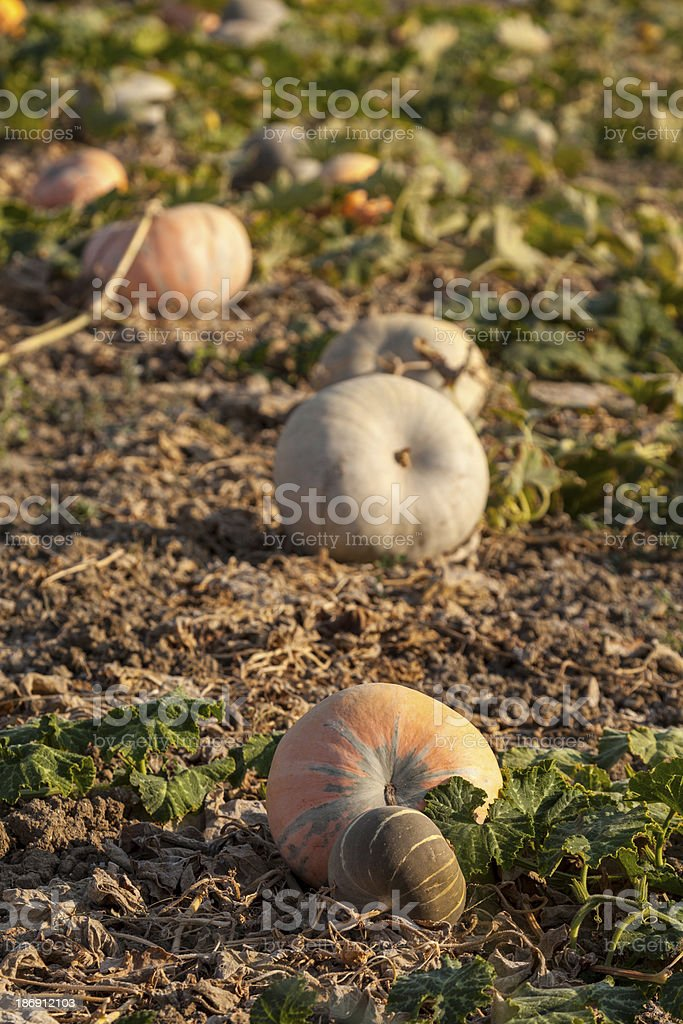 Pumpkins on the field royalty-free stock photo