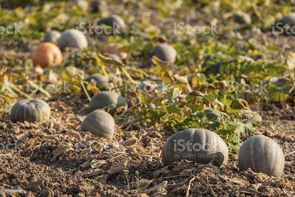 Pumpkins on the fields royalty-free stock photo