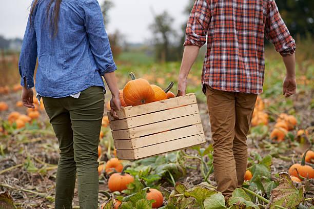 pumpkins on the grow - plukken stockfoto's en -beelden