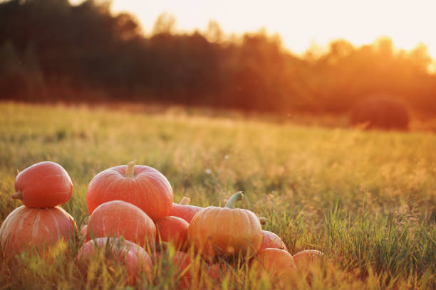pumpkins on wooden table outdoor stock photo