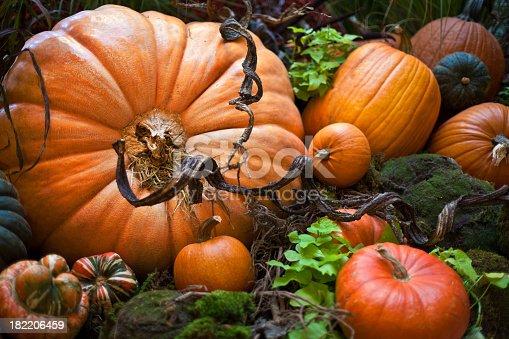Halloween decoration,, real pumpkins and vine,, real plants (leaves inbetween)