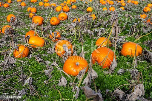 620705960istockphoto Pumpkins ready for harvest 1044395630