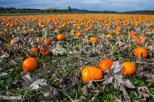620705960istockphoto Pumpkins ready for picking 1044396132