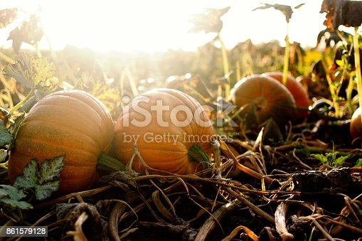 Large pumpkins in autumnal morning sunshine in a field
