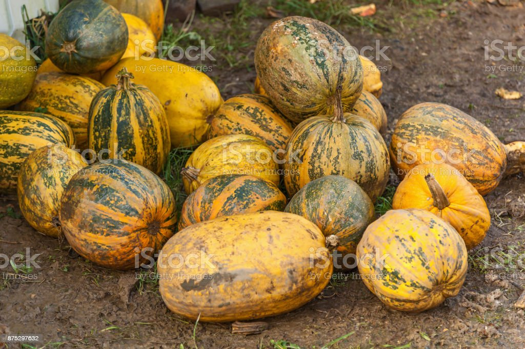 pumpkins stacked on the farm stock photo