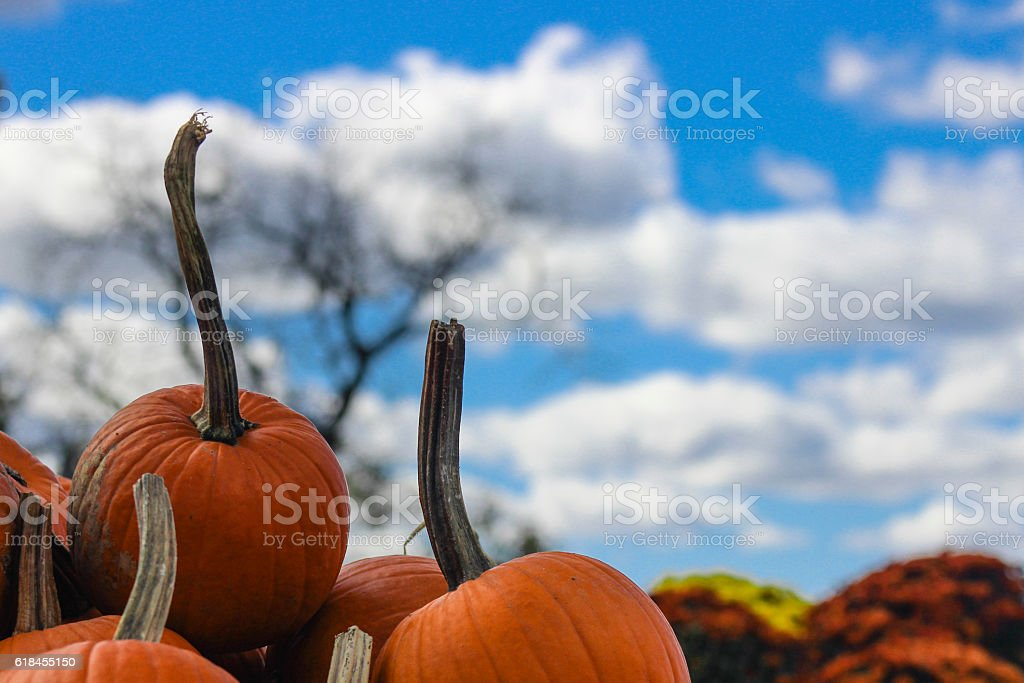 Pumpkins with Long Stems stock photo