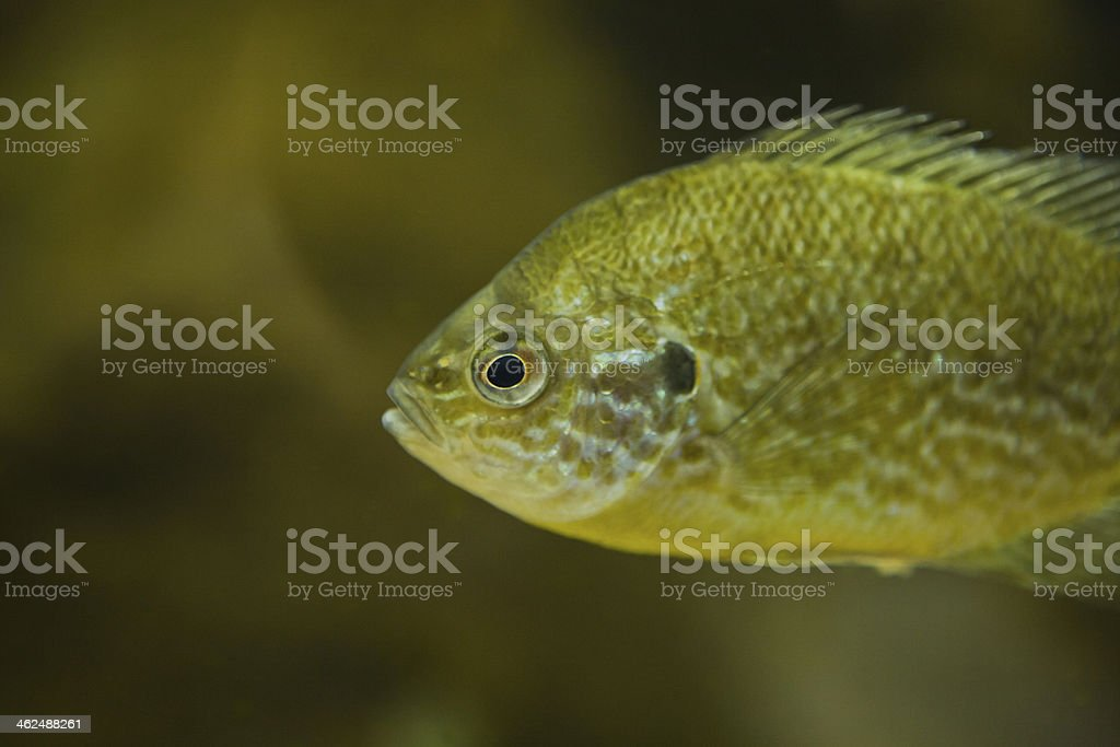 pumpkinseed sunfish royalty-free stock photo