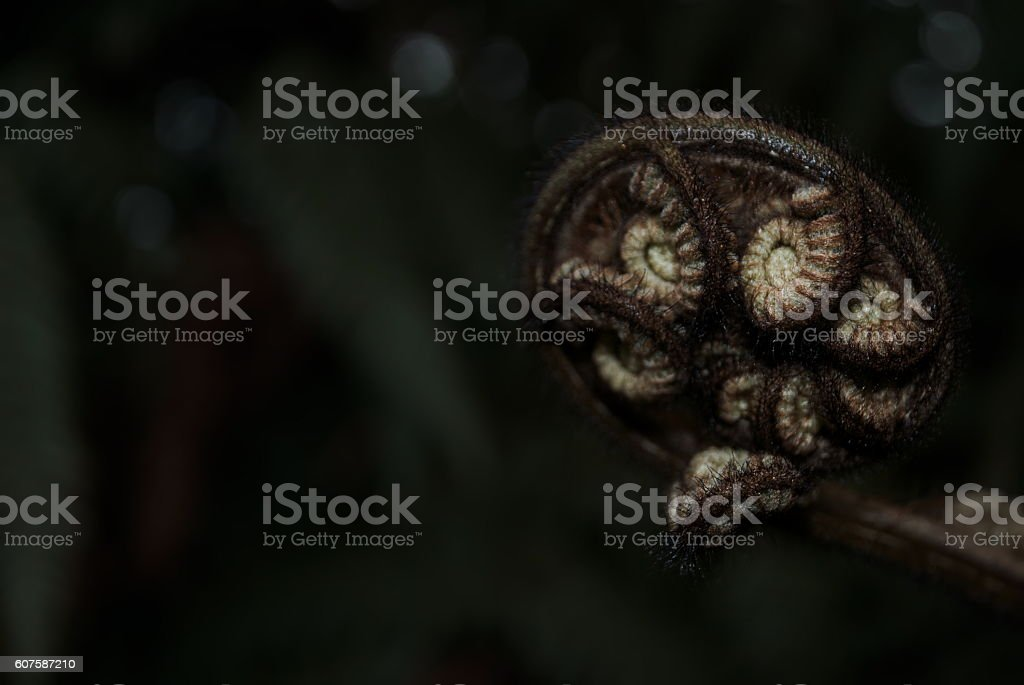 Punga Fern Frond Koru with Copyspace stock photo