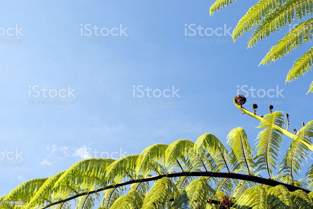 Punga Fern Frond (Koru) stock photo