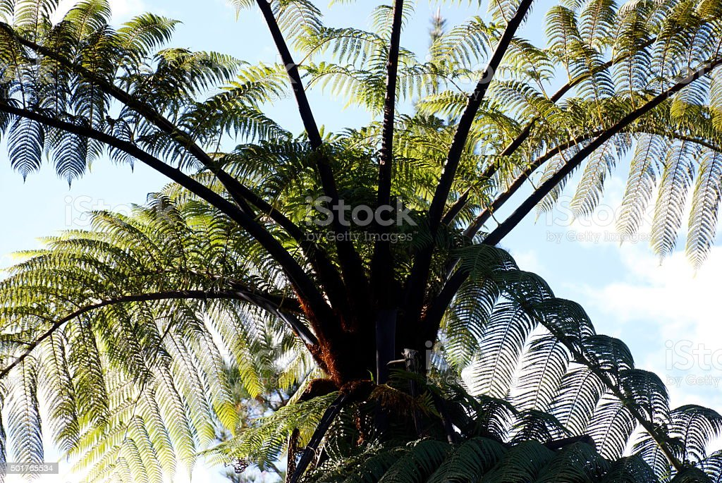 Punga Tree Fern Canopy, New Zealand stock photo