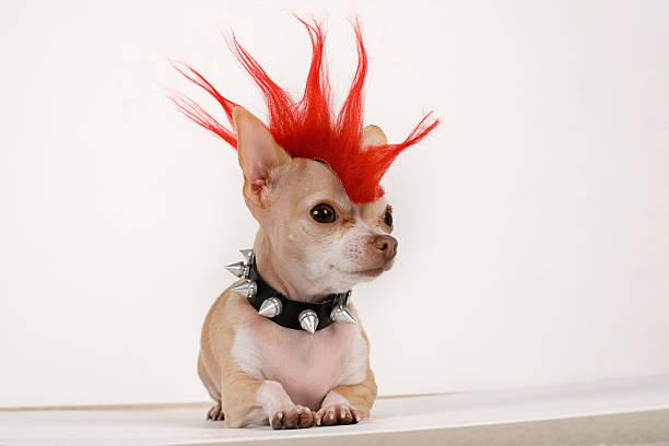 punk - chihuahua chien de race photos et images de collection